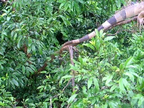 Tree Full of Iguanas