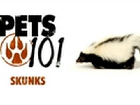 Pets 101- Pet Skunks