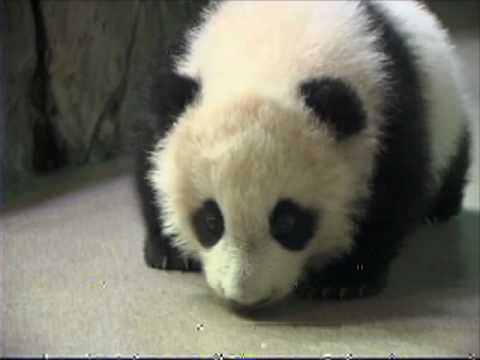 Farewell Panda, Tai Shan Leaves for China