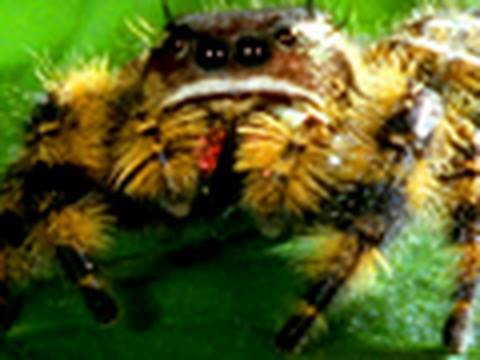 The Deadly Jumping Spider