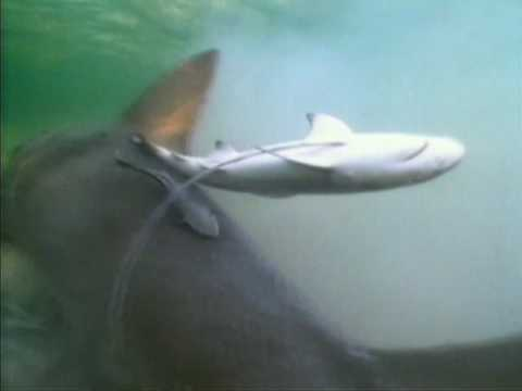 Shark Week 2007 - Lemon Shark Gives Birth