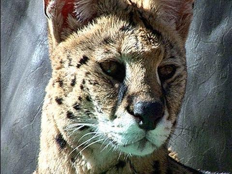 18 Servals, 1 Sanctuary...