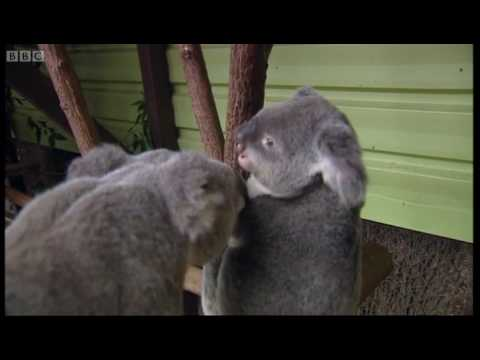 Koala breeding at an Australian Zoo - Making Animal Babies - BBC