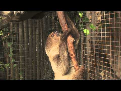 Baby Sloth at the San Diego Zoo