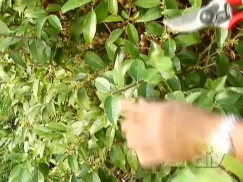 How to Trim or Prune a Shrub-DIY