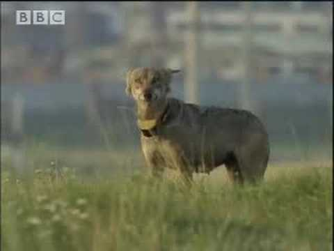 BBC: Mother Wolf Epic Journey to Feed Cubs