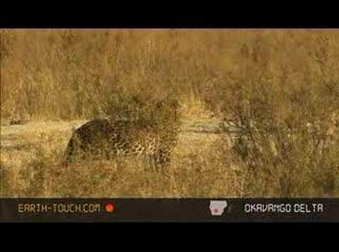 Hyenas dog leopard