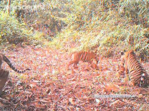 Tiger cubs play in the wild