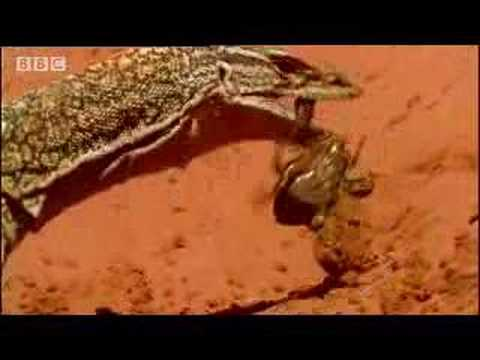 Lizards, snakes and poisonous animals roaming the deserts of Australia - BBC wildlife