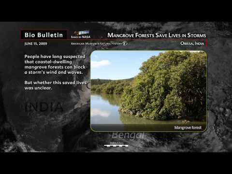 Science Bulletins: Mangrove Trees Save Lives in Storms