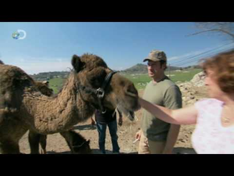 Dirty Jobs - Camel Rancher - Camel Poo Cure-All