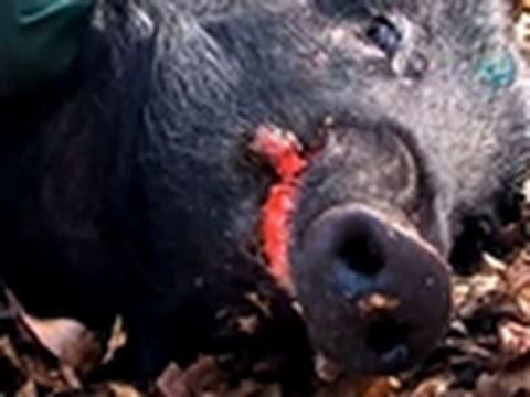 Hogs Gone Wild- Killer Cutters