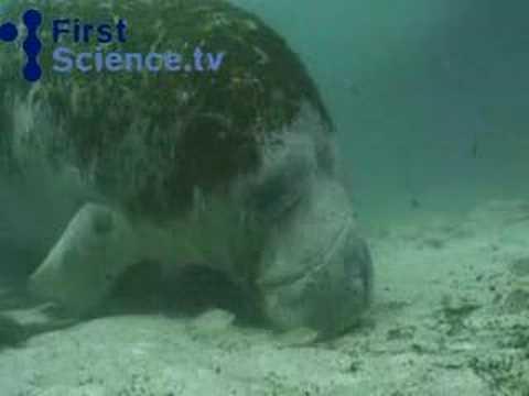 Manatees (sea cows)