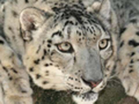 *RARE - Snow Leopard HELLO!