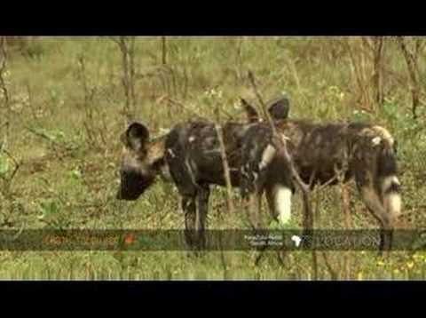 African wild dogs cross Imfolozi flood plain