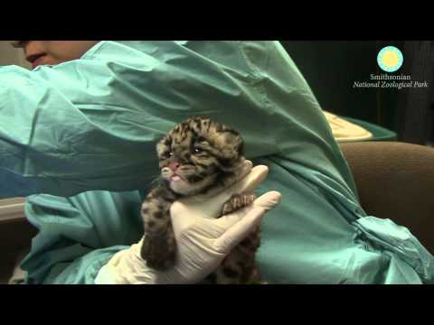 Hand-Rearing Clouded Leopards Cubs