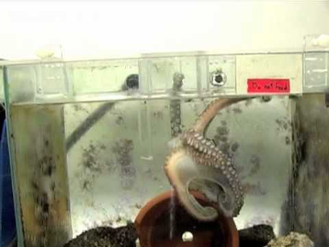 Octopus navigates maze to get food
