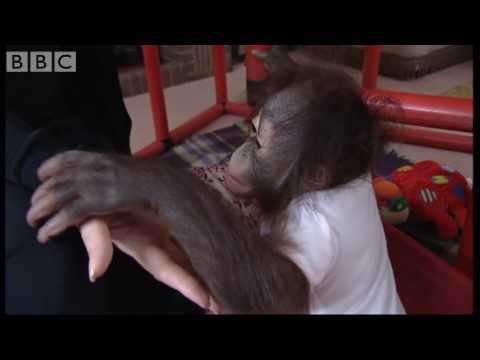 Beau the baby monkey at Twycross Zoo - Making Animal Babies - BBC