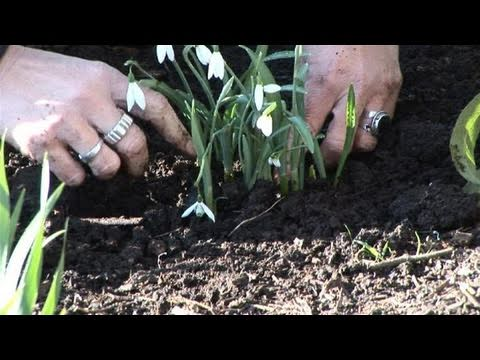 How To Plant Snowdrops In The Green At Home
