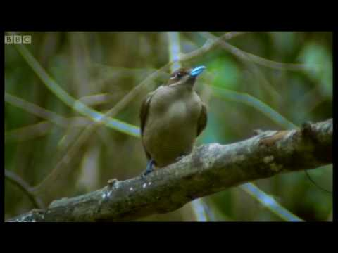 Dancing birds of paradise - Wild Indonesia - BBC
