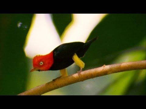 """World's Weirdest - Birds """"Moonwalk"""" to Impress the Ladies"""
