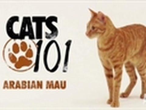 Arabian Mau | Cats 101