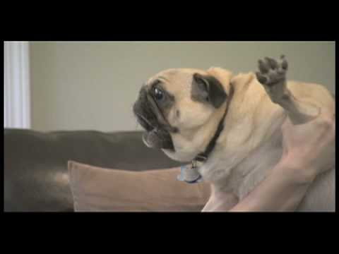 Curb Your Dog - Evil Pug*