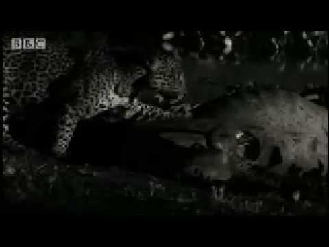 Rare scavenging wild cat -Jaguar - BBC Animals
