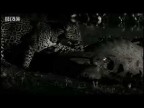 Rare scavenging wild cat -Jaguar - BBC Animals