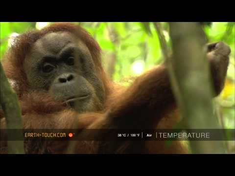 Amazing animal encounter: Orangutan mother with baby
