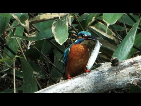 Kingfisher - An Off Day