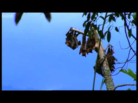 Mating fruit bats - Wild Indonesia - BBC