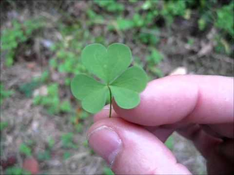 Wood Sorrel - Wild Foraging Survival Foods