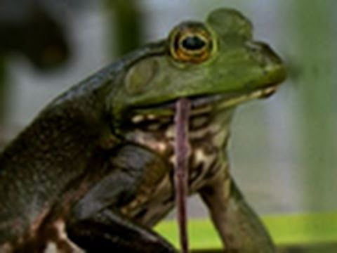Bullfrogs Eat Everything
