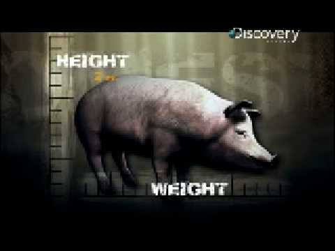 Pig Bomb - The Ruinous Pig