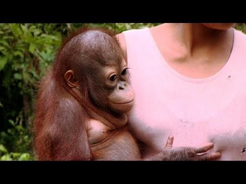 Rescue Mission Part 2 - Orangutan Diary - BBC