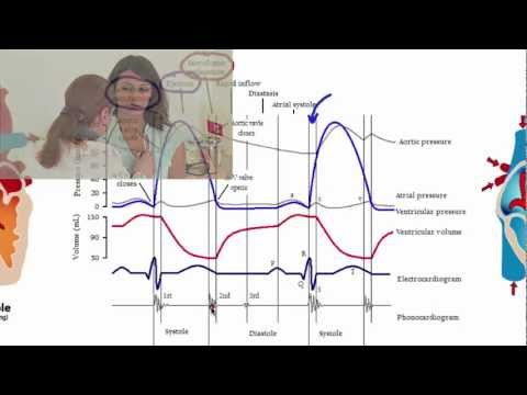 052 The Cardiac Cycle