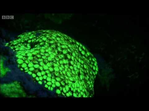 Underwater fluorescence disco - Oceans - BBC