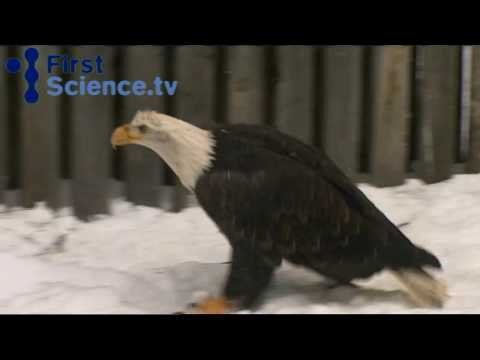 Bald eagles and the dangers they face