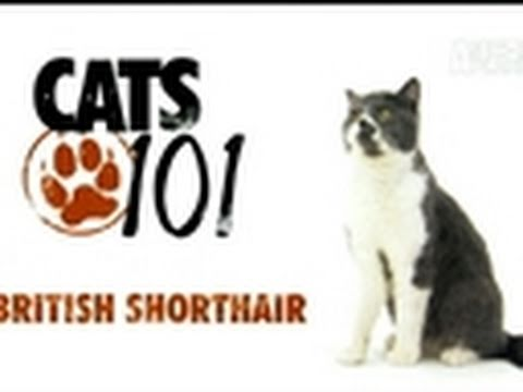 Cats 101- British Shorthair