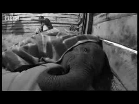 Baby elephants of Nairobi national park - BBC wildlife