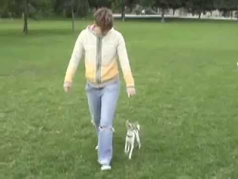 chihuahua tricks agility freestyle...