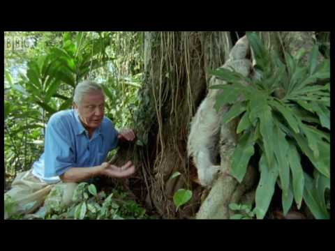Attenborough: Saying Boo to a Sloth! - BBC Earth