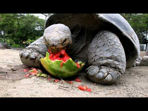 Galapagos Tortoise Enjoying a Watermelon