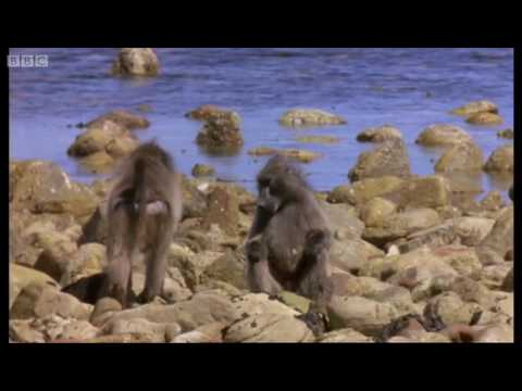 Lunchtime for Baboons - Mountain of the Sea - BBC