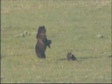 NATURE | The Good, The Bad, and the Grizzly | On the Hunt |