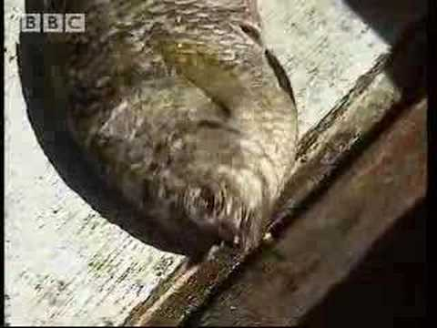 Catching Octopus and Eels - Ray Mears Extreme Survival - BBC