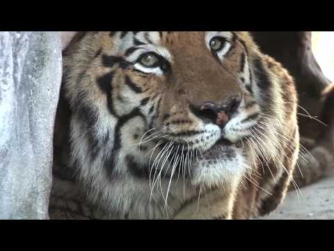 LIONS & TIGERS of Big Cat Rescue!