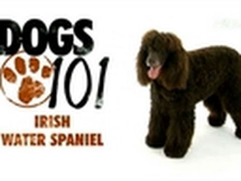 Dogs 101: Irish Water Spaniel