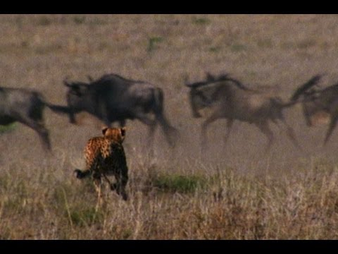Animal Summer Games: Wildebeest Survival Race